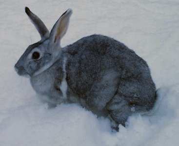 Rabbit_breed_chinchella